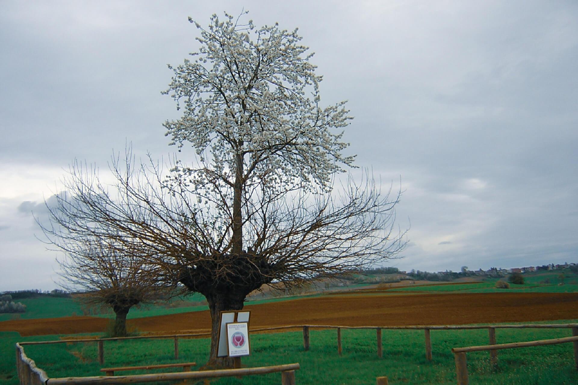 Cherry tree in Piedmont