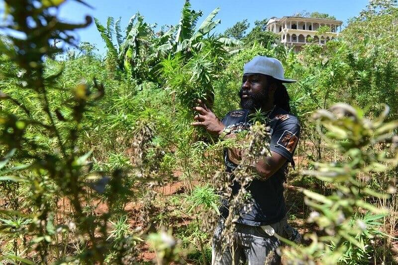 Kingston-Jamaica-Weed-tour