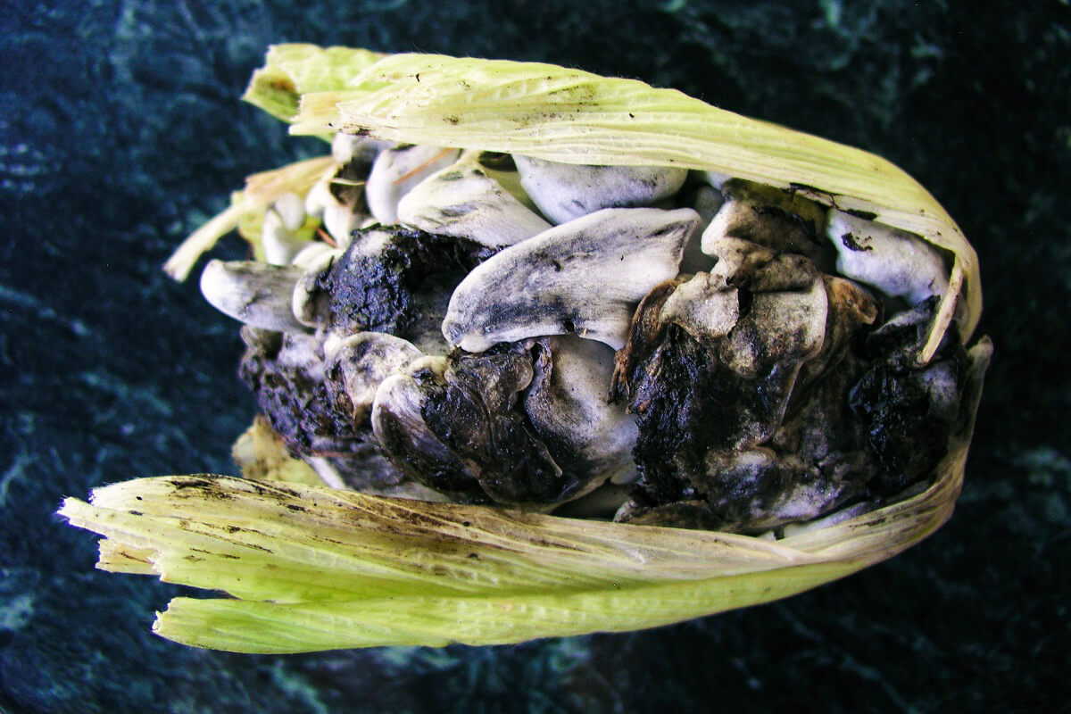 Huitlacoche is a Mexican specialty